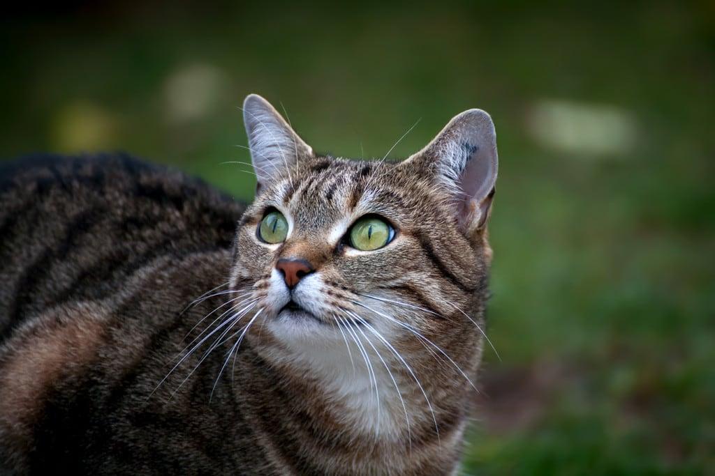 Cat-Portrait-Miko_2