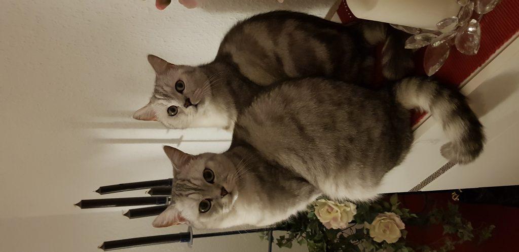 Katzen Foto: Ramona und Simba und Pascha - Brüder